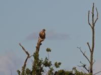 Seeadler auf einer Baumspitze, Insel Usedom am Schmollensee im August 2013