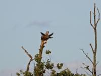 Seeadler auf einer Baumspitze wird von einer Nebelkrähe attackiert, Insel Usedom am Schmollensee im August 2013