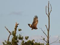 Seeadler auf einer Baumspitze wird von einer Nebelkrähe attackiert und flüchtet, Insel Usedom am Schmollensee im August 2013