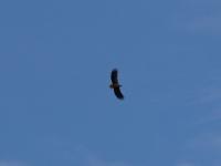 Seeadler adult (erwachsen) im Flug, in der Nähe von Meißen im April 2013