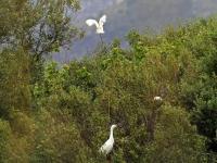 Seidenreiher unten im Bild (oben im Flug Kuhreiher), Mallorca im Naturschutzgebiet S'Albufera im April 2013