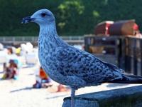 Silbermöwe Jungvogel im 2. Kalenderjahr nach dem ersten Winter , Seebrücke Sellin auf der Insel Rügen im August 2013