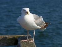 Silbermöwe Altvogel , Seebrücke Sellin auf der Insel Rügen im Juli 2013