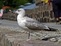 Silbermöwe im 3. Kalenderjahr, 2 Jahre und ein paar Montate alt, im Hafen Sassnitz auf der Insel Rügen im Juli 2013