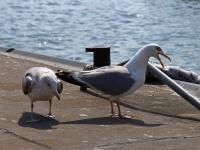 links Silbermöwe im 3. Kalenderjahr, 2 Jahre und ein paar Montate alt und rechts adulte Silbermöwe, im Hafen Sassnitz auf der Insel Rügen im Juli 2013
