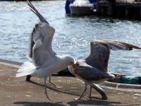 rechts Silbermöwe im 3. Kalenderjahr, 2 Jahre und ein paar Montate alt attakiert adulte Silbermöwe (links), im Hafen Sassnitz auf der Insel Rügen im Juli 2013