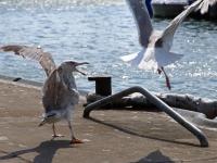 links Silbermöwe im 3. Kalenderjahr, 2 Jahre und ein paar Montate alt attakiert adulte Silbermöwe (rechts), im Hafen Sassnitz auf der Insel Rügen im Juli 2013
