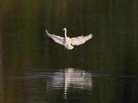Silberreiher im Anflug, Teichgebiet Zschorna, breiter Teich, Juli 2014