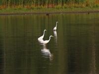 3 Silberreiher, Teichgebiet Zschorna, breiter Teich, Juli 2014