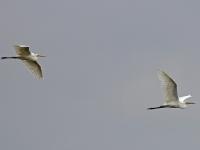2 Silberreiher im Flug, Teichgebiet Zschorna, breiter Teich, Juli 2014
