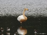Singschwan adult, Teichgebiet Zschorna, breiter Teich Nordufer, das gelbliche Gefieder kommt vermutlich durch eisenhaltiges Wasser wo er sich aufhielt. September 2014