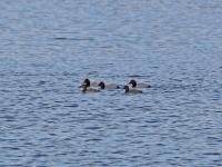Tafelenten 3 Männchen & 2 Weibchen, Frauenteich Moritzburg im April 2013