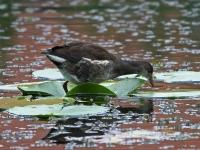 Teichhuhn Jungvogel (Jugendkleid), Insel Usedom, Ort Stolpe an einem kleinen See im August 2013
