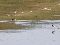 Temminckstrandläufer, Teichgebiet Zschorna, breiter Teich Nordufer, Juli 2014