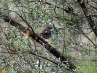Trauerschnäpper Weibchen, Mallorca, Ort: Sa Coma im Naturschutzgebiet Punta de n'Amer im April 2013