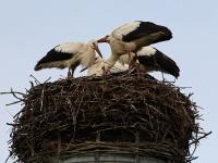 Weißstorch, Nachwuchs im Nest, Sachsen Juli 2014