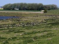 Hunderte Weißwangengänse auch Nonnengänse genannt. Nordfriesland bei Ockholm, Speicherbecken Süd. Mai 2016