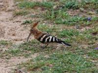 Wiedehopf bei der Nahrungssuche am Boden, Mallorca ( Ort: Sa Coma im Naturschutzgebiet Punta de n'Amer )
