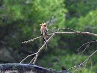 Wiedehopf auf dem Ast, Mallorca ( Ort: Sa Coma im Naturschutzgebiet Punta de n'Amer )