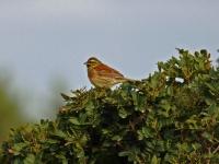 Zaunammer Männchen, Mallorca, Ort: Sa Coma im Naturschutzgebiet Punta de n'Amer im April 2013
