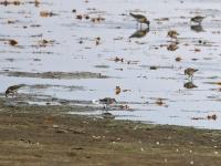 3 Zwergstrandläufer, Teichgebiet Zschorna, breiter Teich Nordufer, September 2014