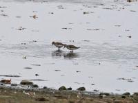 2 Zwergstrandläufer, Teichgebiet Zschorna, breiter Teich Nordufer, September 2014