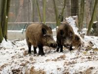 Wildschweine im Wildgehege Moritzburg Januar 2013
