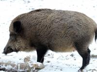 Wildschwein im Wildgehege Moritzburg Januar 2013
