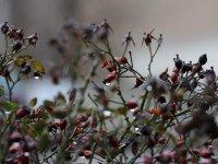 Makro Foto Beeren,  aus ca. 3m, Berrengrße ca. 1- 1,5cm