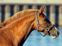 Pferd, Dresden Gohlis Elbwiese im September 2013